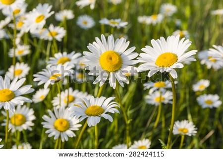 White flowers (Leucanthemum vulgare Lam., ox-eye daisy, oxeye daisy) in the meadow