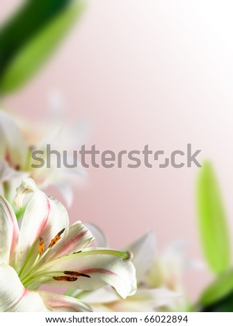 white flowers lily with green leaf on pink background