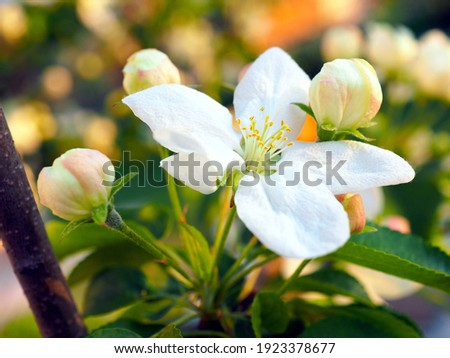 White flowers of an apple tree close-up at sunset. Petals, pistils, stamens, leaves and branches. Blooming fruit tree in spring. Gentle illustration about the beginning of summer. Macro Stock photo ©