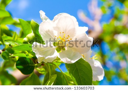 white flowers of apple