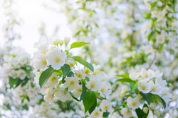 White flowers of apple trees bloom on a branch. Close-up. The concept of spring, summer, flowering, holiday. Image for banner, postcards.