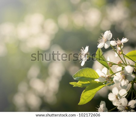 White flowers of blooming cherry spring bacground - stock photo