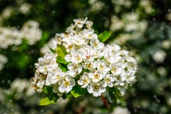 White flowers of Crataegus monogyna plant, known as  hawthorn or single-seeded hawthorn may blossom, maythorn, quickthorn, whitethorn, motherdie, haw. Spring blossoms in bokeh light background