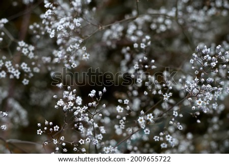 Photo of White flowers of gypsophila. blurred and fuzzy plant background . High quality photo