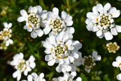 White flowers of Iberis blooming in the garden in early spring.iberis sempervirens.iberis ciliata