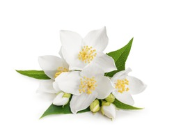 White flowers of jasmine on white isolated background