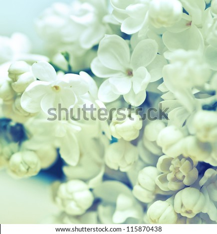 white flowers of lilac