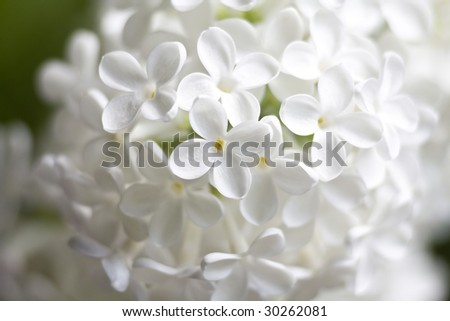 white flowers of lilac - stock photo