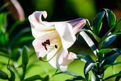 White flowers of Lilium regale plant, known as regal, royal or king's lily in a British cottage style garden in a sunny summer day, beautiful outdoor floral background photographed with soft focus