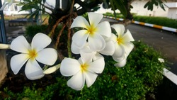 White flowers of Thailand