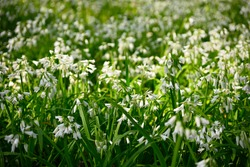 White flowers of three-cornered leek, Allium triquetrum, plant of the onions and garlic family native to the Mediterranean basin.