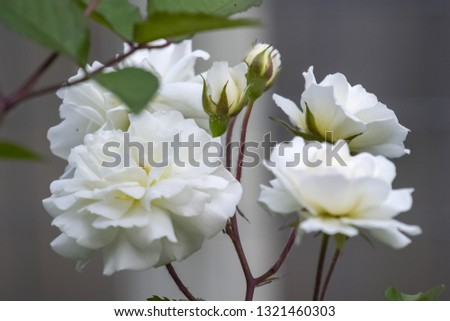 White flowers of wild rose, wild rose bush. White flowers of wild rose, wild rose bush. #1321460303