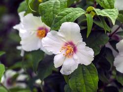 White flowers on a mock orange shrub, Philadelphus Belle Etoile