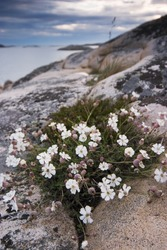 White flowers on the cliffs by the sea, Sweden.