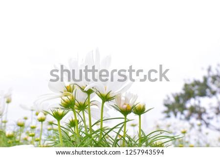 White flowers, white flowers, white flowers are white background
