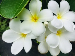 White flowers with black and green background