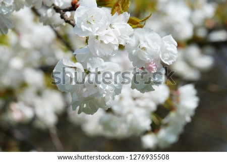 White Flowers with blue sky background.White cherry blossom.Cherry blossom in copenhagen,denmark.Flowers art for background.Beautiful cherry blossom. Cherry blossom in spring.Isolated flower.