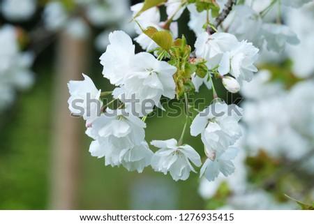 White Flowers with blur background.White cherry blossom.Cherry blossom in copenhagen,denmark.Flowers art for background.Beautiful cherry blossom. Cherry blossom in spring.Isolated flower.Close up.  #1276935415