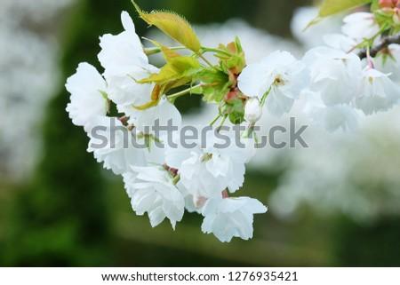 White Flowers with blur background.White cherry blossom.Cherry blossom in copenhagen,denmark.Flowers art for background.Beautiful cherry blossom. Cherry blossom in spring.Isolated flower.Close up.  #1276935421