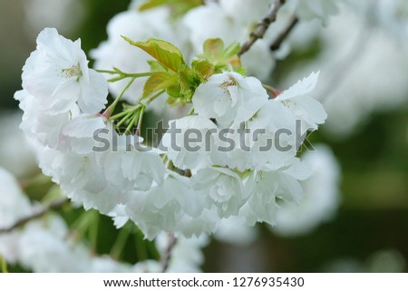 White Flowers with blur background.White cherry blossom.Cherry blossom in copenhagen,denmark.Flowers art for background.Beautiful cherry blossom. Cherry blossom in spring.Isolated flower.Close up.  #1276935430