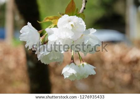 White Flowers with blur background.White cherry blossom.Cherry blossom in copenhagen,denmark.Flowers art for background.Beautiful cherry blossom. Cherry blossom in spring.Isolated flower.Close up.  #1276935433