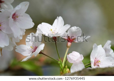 White Flowers with blur background.White cherry blossom.Cherry blossom in copenhagen,denmark.Flowers art for background.Beautiful cherry blossom. Cherry blossom in spring.Isolated flower.Close up.  #1276935445