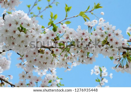 White Flowers with blur background.White cherry blossom.Cherry blossom in copenhagen,denmark.Flowers art for background.Beautiful cherry blossom. Cherry blossom in spring.Isolated flower.Close up.  #1276935448