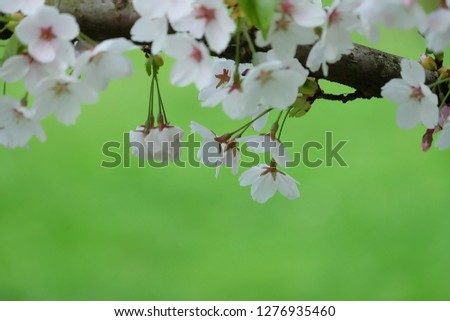 White Flowers with blur background.White cherry blossom.Cherry blossom in copenhagen,denmark.Flowers art for background.Beautiful cherry blossom. Cherry blossom in spring.Isolated flower.Close up.  #1276935460