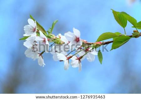 White Flowers with blur background.White cherry blossom.Cherry blossom in copenhagen,denmark.Flowers art for background.Beautiful cherry blossom. Cherry blossom in spring.Isolated flower.Close up. #1276935463