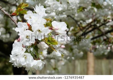 White Flowers with blur background.White cherry blossom.Cherry blossom in copenhagen,denmark.Flowers art for background.Beautiful cherry blossom. Cherry blossom in spring.Isolated flower.
