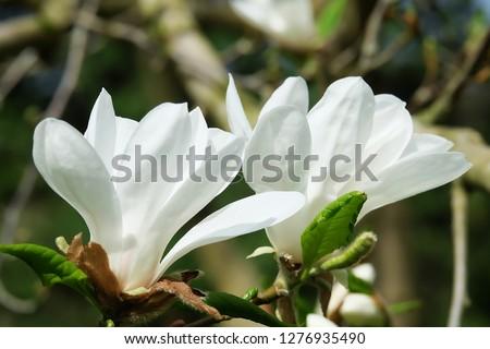 White Flowers with blur background.White cherry blossom.Cherry blossom in copenhagen,denmark.Flowers art for background.Beautiful cherry blossom. Cherry blossom in spring.Isolated flower.Close up.