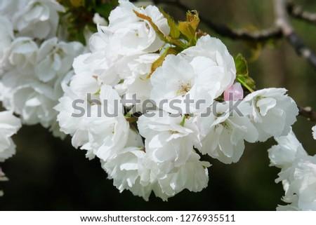 White Flowers with blur background.White cherry blossom.Cherry blossom in copenhagen,denmark.Flowers art for background.Beautiful cherry blossom. Cherry blossom in spring.