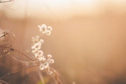 White flowers with golden light in the evening, blur and bokeh background.