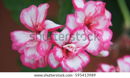 White flowers with pink edges ez canvas white flowers with pink edges mightylinksfo