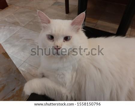 white fluffy cat in bkk