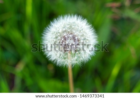 White fluffy dandelion, natural green blurred spring and summer background, selective focus. Selective focus #1469373341