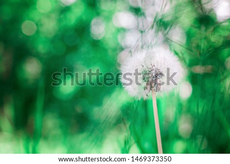White fluffy dandelion, toned green blurred spring and summer background, selective focus. Selective focus #1469373350