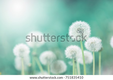 White fluffy dandelions, natural green blurred spring background, selective focus.