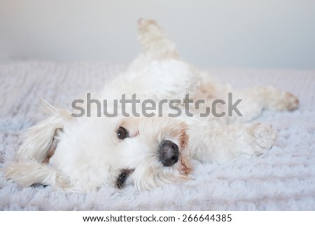 white fluffy dog looking cute lying on his back for a tummy rub