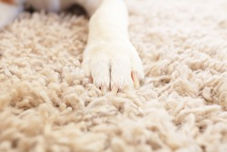 White fluffy dog paw on soft carpet close up