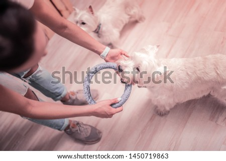 White fluffy dog. Top view of young woman holding ring while playing with white fluffy dog #1450719863