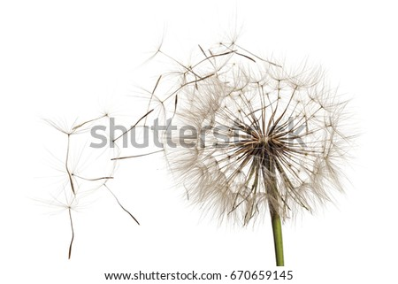 white fluffy flower tragopogon...