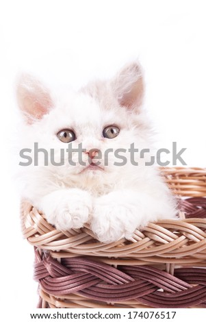 white fluffy kitten looking out from a brown wicker basket