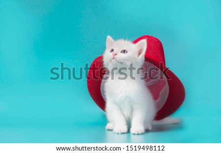 white fluffy kitten under a red summer hat on a turquoise background