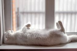 white fluffy Scottish Fold cat sleeps on its back with its paws up on a white windowsill