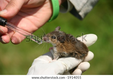 White footed mouse (Peromyscus leucopus) being fed sugarwater during an ecological research project, Ward Pound Ridge Reserve, Cross River, New York