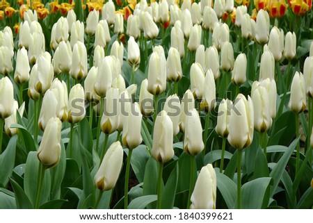 White fosteriana tulips (Tulipa) Concerto bloom in a garden in April 2012 Foto d'archivio ©