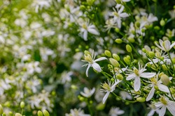 White fragrant Clematis flammula flowers, close up. Many white blooms of Clematis fragrant virgin's bower in summer garden