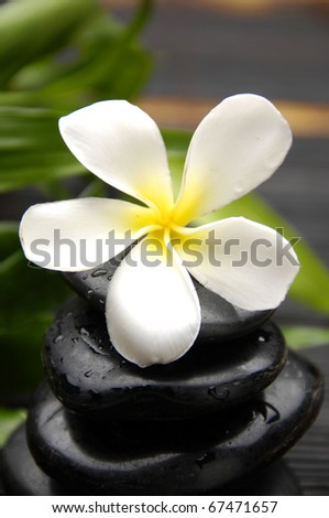 White Frangipani  and zen Stones with green plant