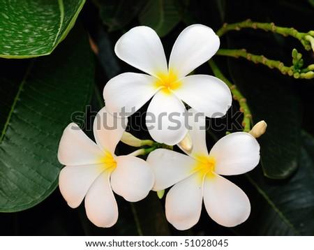White Frangipani flower at full bloom during summer